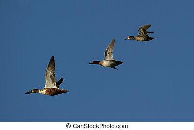 migrer, oies, canadien