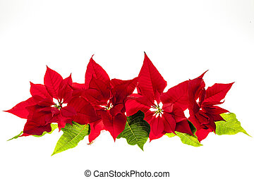 mikulásvirágok, karácsony, egyezség