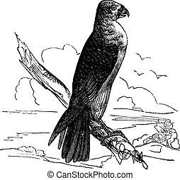 Milan Carolina (Falco furcatus), vintage engraving.