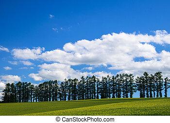 Mild seven hill, row of famous trees among barley field, Biei, Hokkaido, Japan