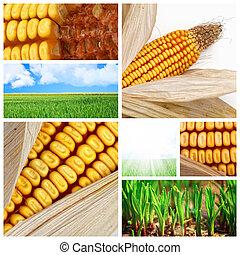 milho, agricultura, fundo