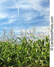 milho, campo, e, bonito, sky., bom, como, fundo, ou, backdrop.
