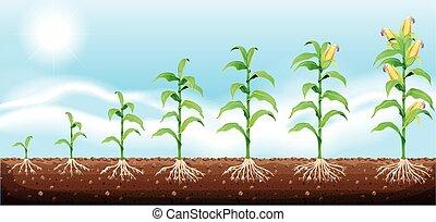 milho, crescendo, de, subterrâneo