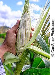 milho, descascado, mão, cru, field., segurando