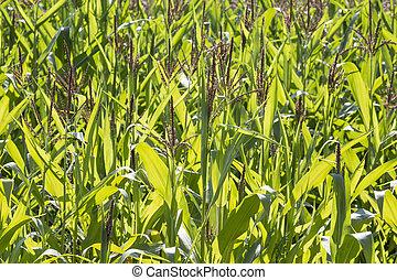 milho, field., verde