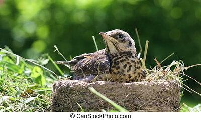 milieu, robin's, nestling, natuurlijke