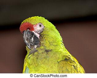 militær, macaw