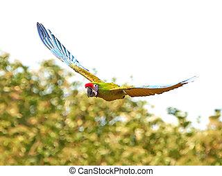 militær, militaris), macaw, (ara