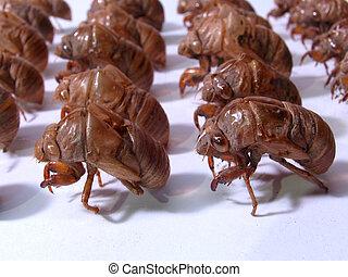 militare, insetto, cicala, army:, sgusciare