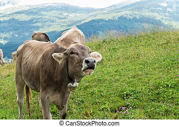 Milk cow on grazing land in Bavaria