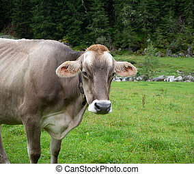 Milk cow with a bell in the pasture