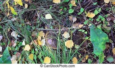 Milk mushroom Growing in Autumn Forest. Boletus growing under the tree. Mushroom picking