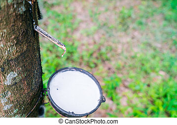Milk of rubber tree flows into a bowl . - Milk of rubber ...