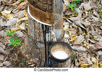 Milk of rubber tree flows into a wooden bowl . Thailand .