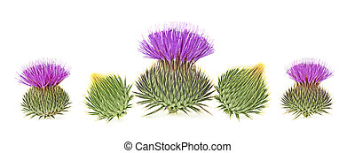Milk thistle flower buds isolated on a white background