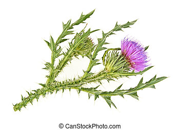 Milk thistle flower isolated on a white background