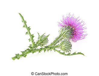Milk thistle flowers isolated on a white background. Carduus crispus.