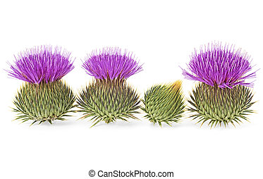 Milk Thistle flowers isolated on a white background