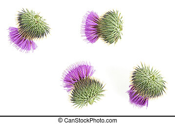 Milk thistle flowers isolated on a white background. Top view.