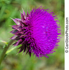milk thistle flowers