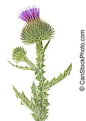Milk thistle isolated on a white background