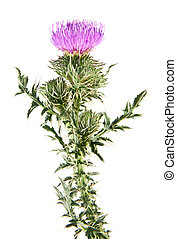 Milk thistle isolated on white background
