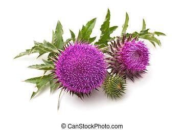 Milk Thistle plant (Silybum marianum) herbal remedy. Scotch thistle, Cardus marianus, Blessed milk thistle, Marian Thistle, Mary Thistle, Saint Mary's Thistle