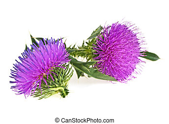 Milk thistle (Silybum) flowers isolated on a white background