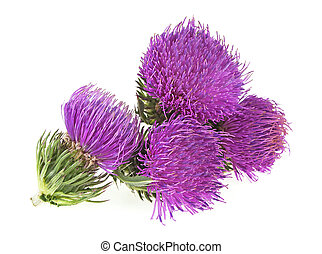 Milk thistle (Silybum) flowers isolated on the white background