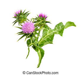 Milk thistle - Silybum marianum has other common names...