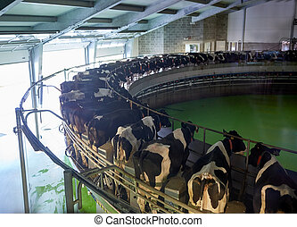 milking cows at dairy farm rotary parlour system -...