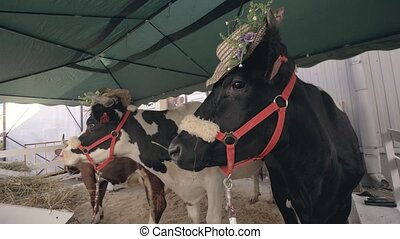 Milking cows with hats standing at agricultural exhibition. Milking cattle