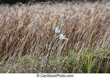 Milkweed and Reeds - Ruptured milkweed plant and brown reeds...