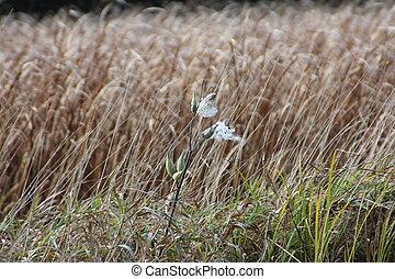 Milkweed and Reeds - Ruptured milkweed plant and brown reeds...