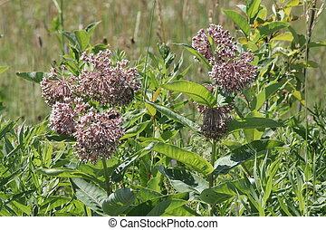 Milkweed, Asclepias syriaca (flower - Milkweed plants in a...