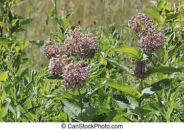 Milkweed, Asclepias syriaca (flower