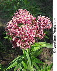 Milkweed , Asclepias syriaca, growing in a meadow.