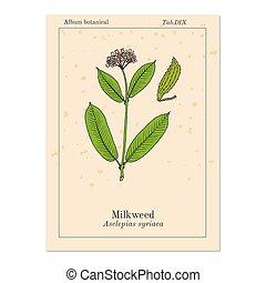 Milkweed Asclepias syriaca , medicinal plant - Milkweed...