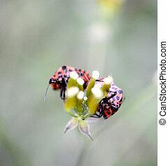milkweed bug on a meadow green plant