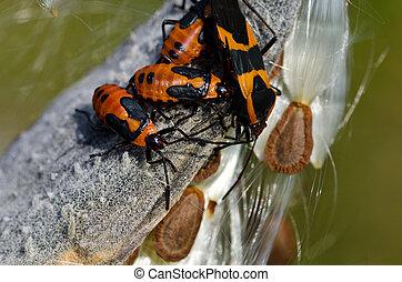 Milkweed Bug Resting on a Milkweed Pod