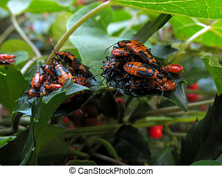 Milkweed bugs on milkweed and holly leaves