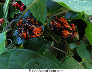 Milkweed bugs piled on the leaves of a holly plant.