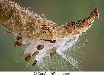 Milkweed bugs - Several milkweed bugs are walking across a...