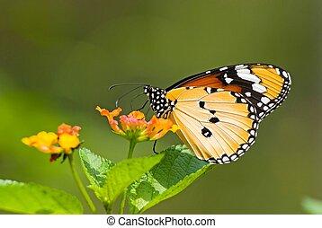 Milkweed butterfly (Anosia chrysippus, Danaidae) feeding on flower