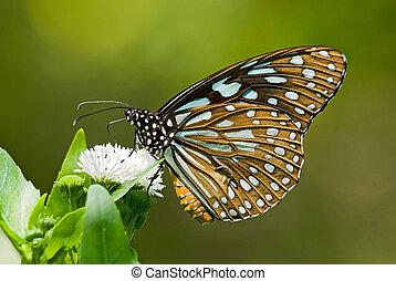 Milkweed butterfly feeding on white flower