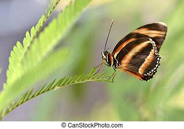 Milkweed Butterfly on leaf
