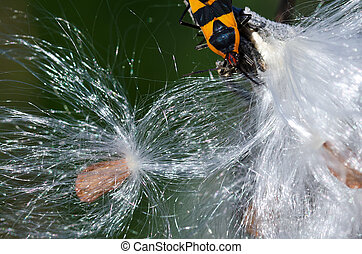 Milkweed Fibers and Milkweed Bug
