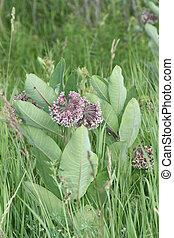 Milkweed flower (Asclepias syriaca)