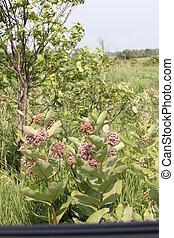 Milkweed, Flowering