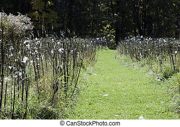 Milkweed pathway - Forest trail leads through field of...